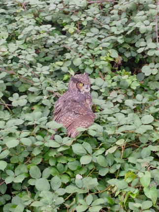 I spotted this injured young great horned owl in the brambles. Andrew pulled it out and we took it to a wildlife rehab center.