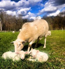 More lambs!!