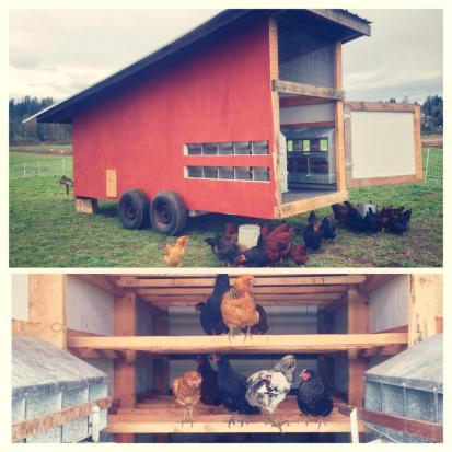 Andrew built this amazing henhouse! Our 120 pullets have just started laying baby-sized eggs.