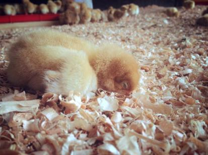 The sleepy baby faceplant! Our first batch of Freedom Ranger broiler chickens is almost ready to go out on pasture.