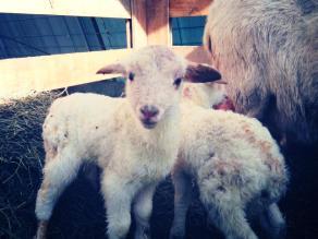 Lambs!!