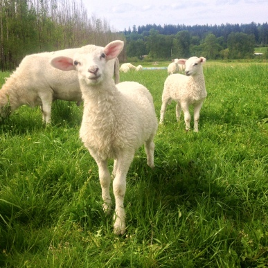 Hello lambs!
