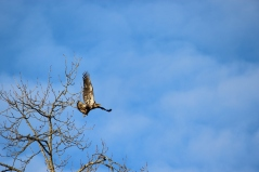 Juvenile bald eagle taking flight. I love them so much (but that's because they've never taken off with one of my lambs, as they're known to do. Knock on wood.)