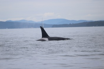 An Orca in the wild