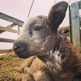 Little brown lamb!