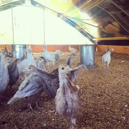 Baby turkeys! We're on track to sell out in the next few weeks