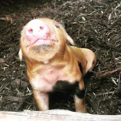 What a ham